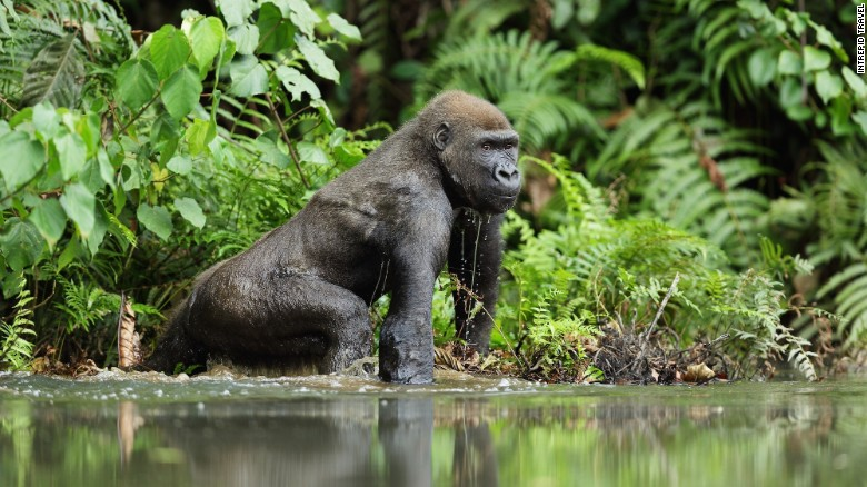 Spotted in Gabon, a western lowland gorilla - One of the best places to travel in 2017