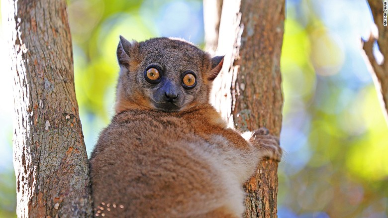 Madagascar's 106 species of lemur are the star attraction - One of the best places to travel in 2017